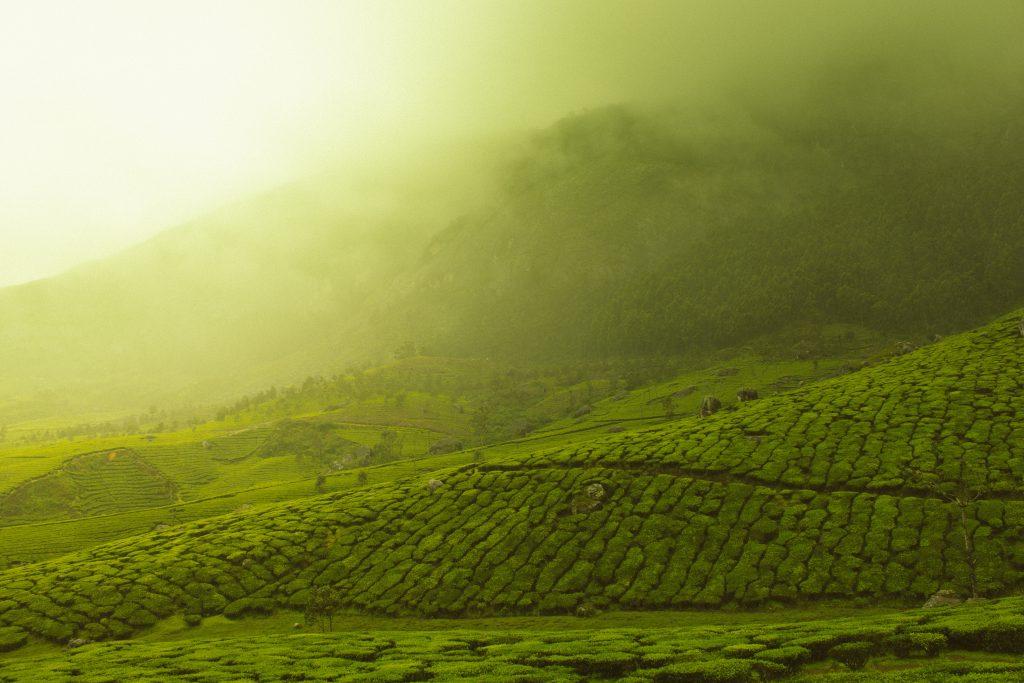 Nilgiri Tea Garden